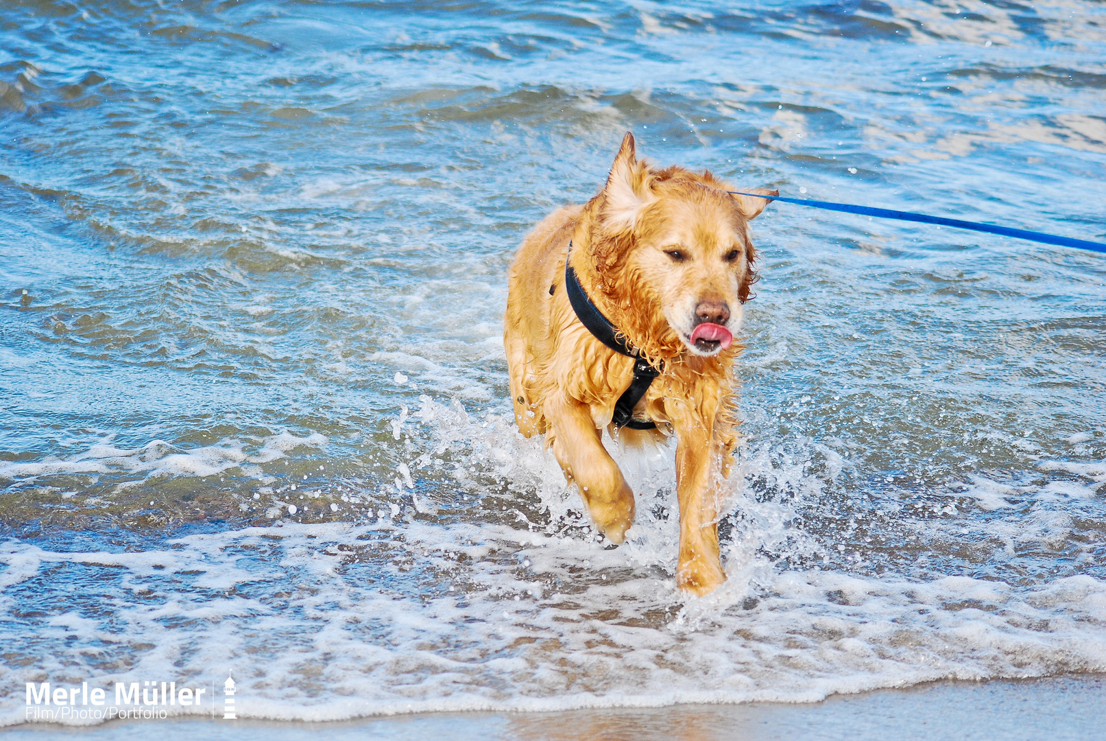 Golden Retriever an der Ostsee!