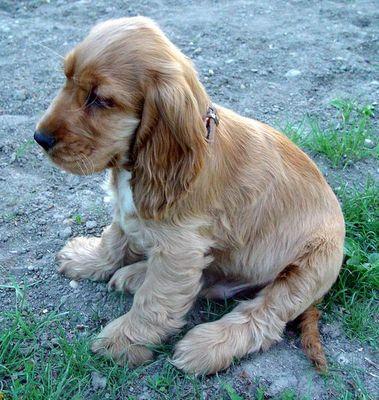 Golden Retriever Baby