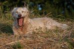 Golden Retriever - Goldi Hundemüde