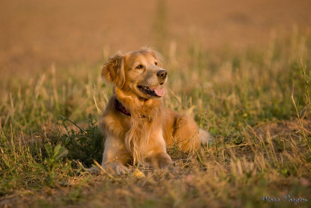 Golden Retriever in der Herbstsonne