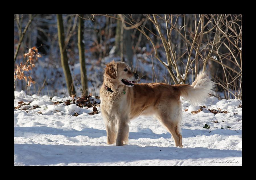 Golden Schneetriever
