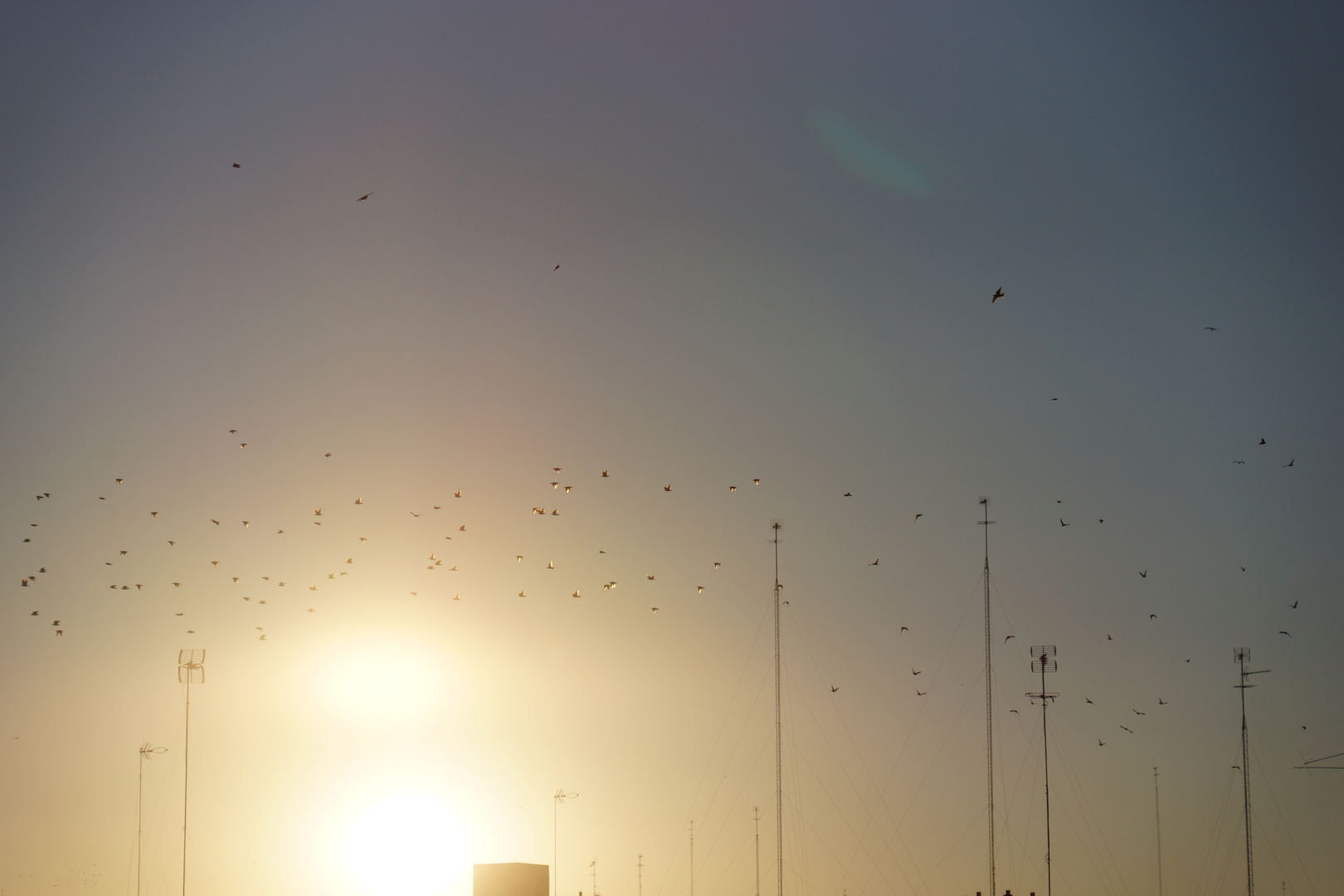 Golden Starlings Estorninos dorados