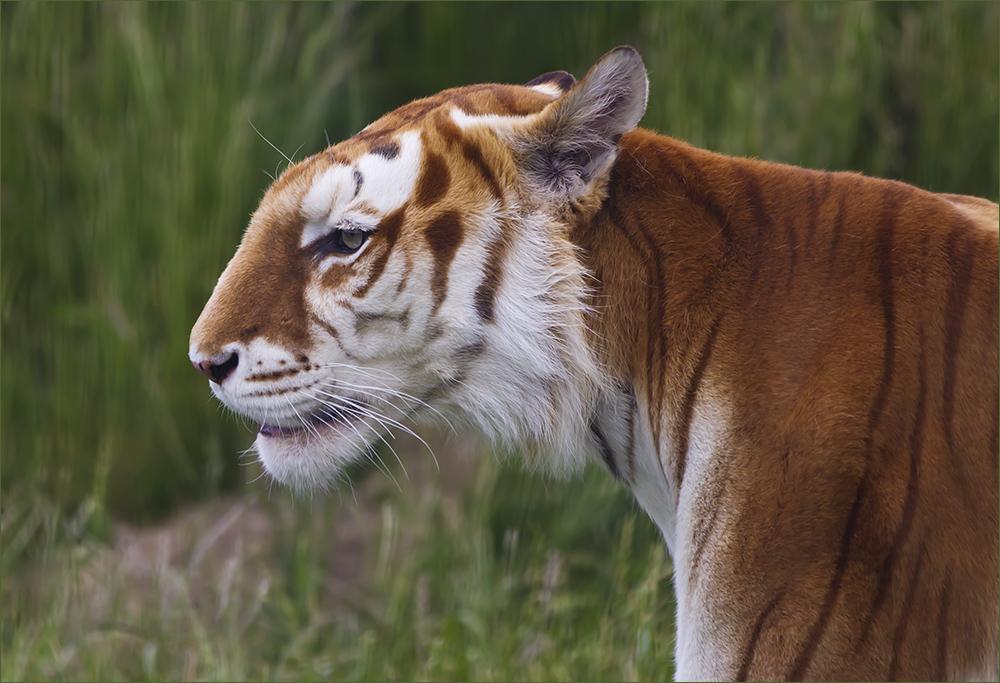 *** Golden Tabby Tiger (1) ***