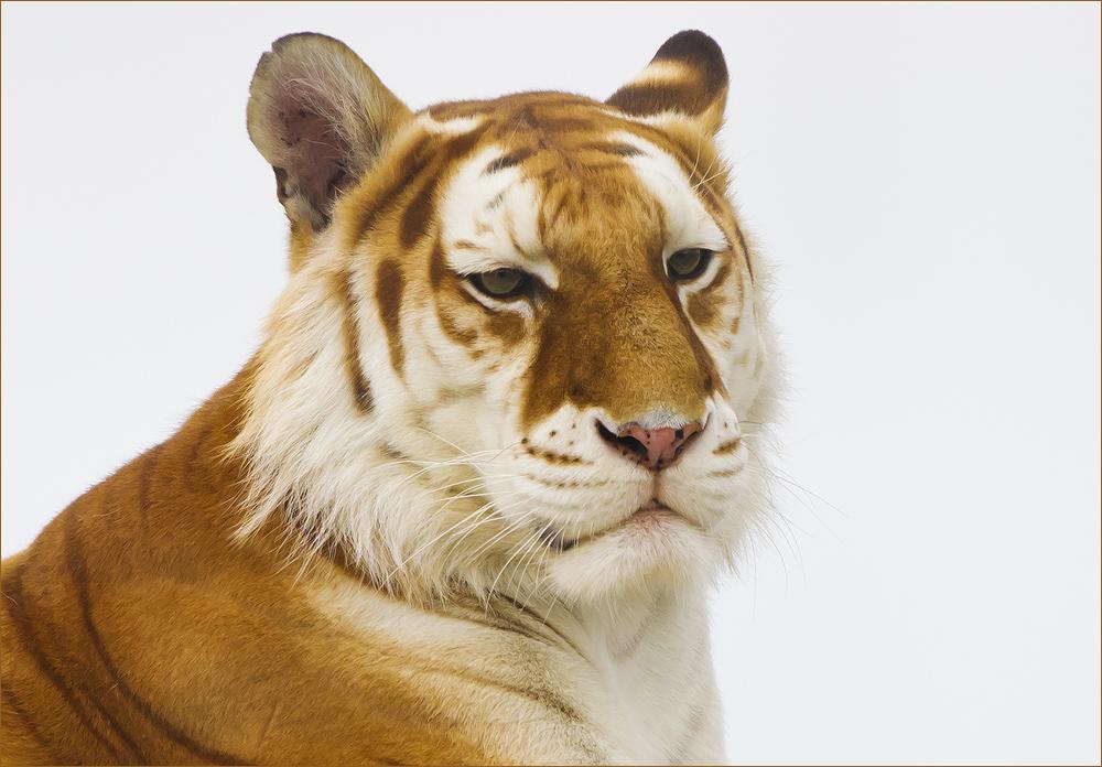 *** Golden Tabby Tiger (2) ***