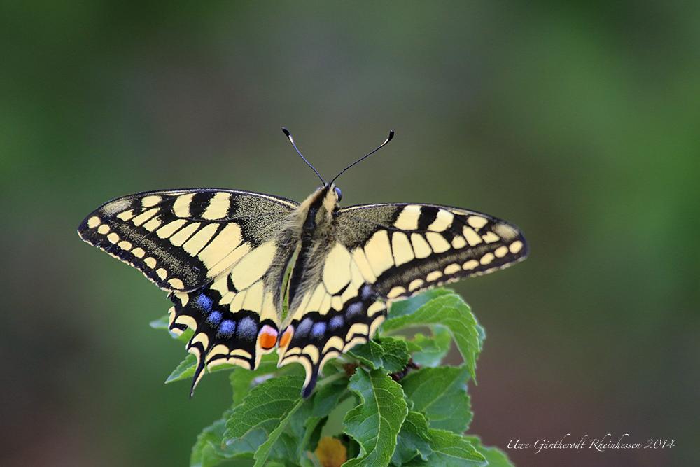 Golden Wings II