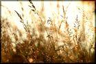 Goldenbrown...