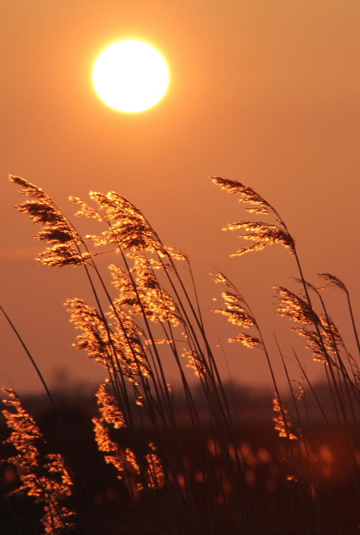 Goldene Ähren im Wind