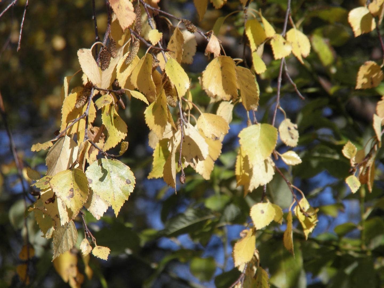Goldene Blätter...