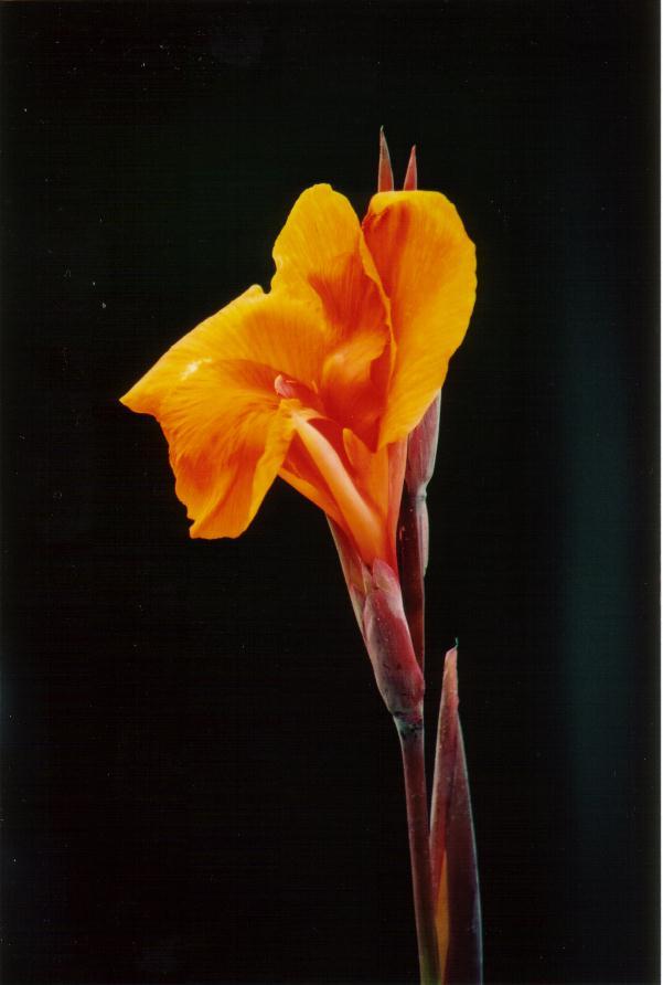 Goldene Blume