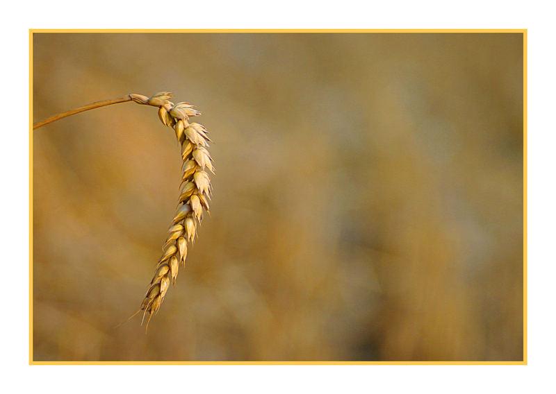 Goldene Ernte
