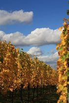 Goldene Herbsttage in den Weinbergen