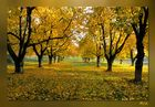 goldene Kirschbäume...