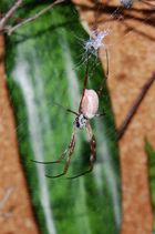 Goldene Seidenspinne - Nephila edulis 3