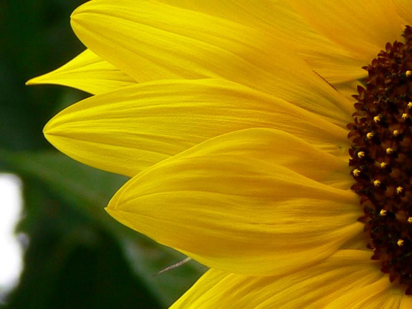 Goldene Sonnenblumen