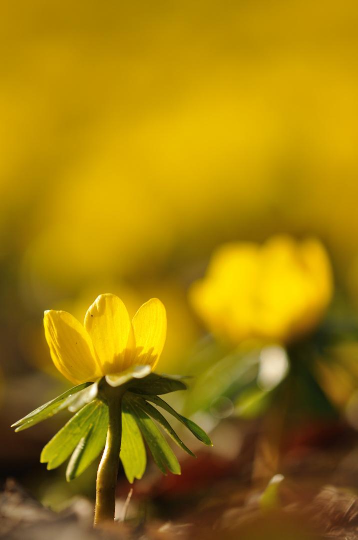 Goldener Frühlingsanfang