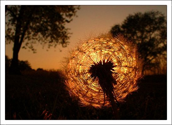 *Goldener Lampion*