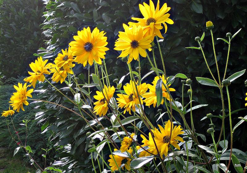 Goldenes Feuerwerk -Staudensonnenblumen Helianthus decapetalus