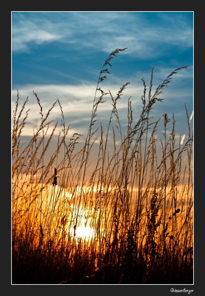 Goldenes Gras II