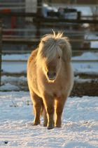 goldenes Pony