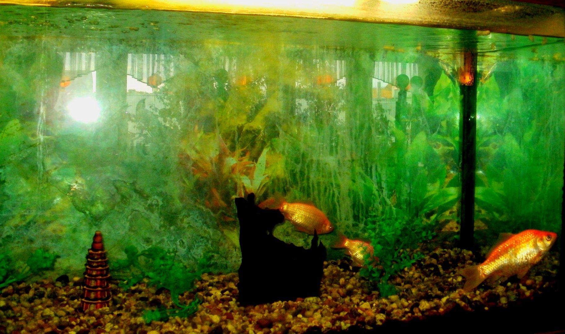 Goldenfisch