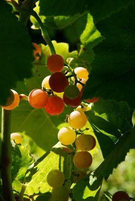 Golderner Wein