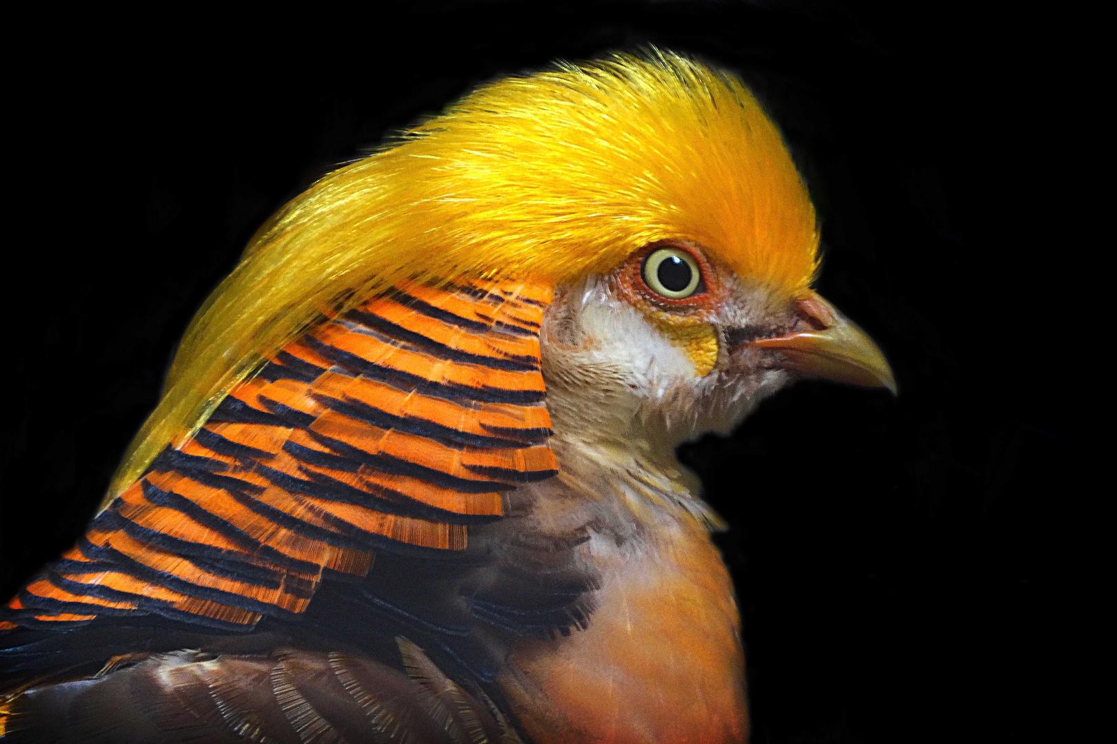 Goldfasan (Neuwieder Zoo)