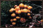 Goldfellschüppling (Pholiota aurivella)
