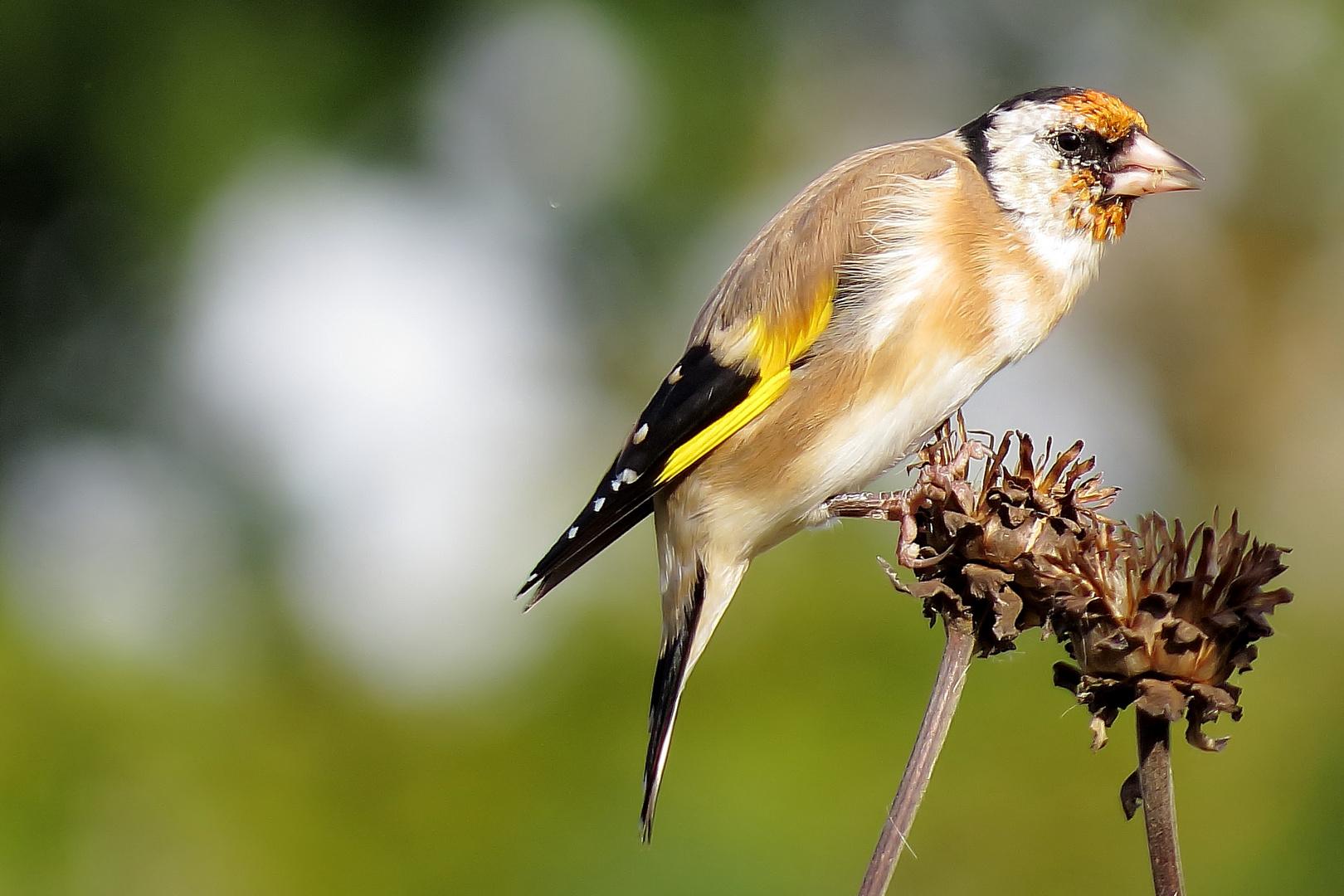 Goldfinch / Distelfink