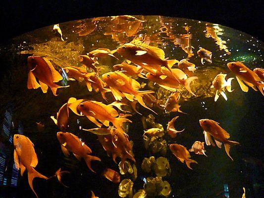 """""""Goldfische"""""""