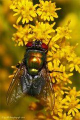 Goldfliege – Gattung Lucilia