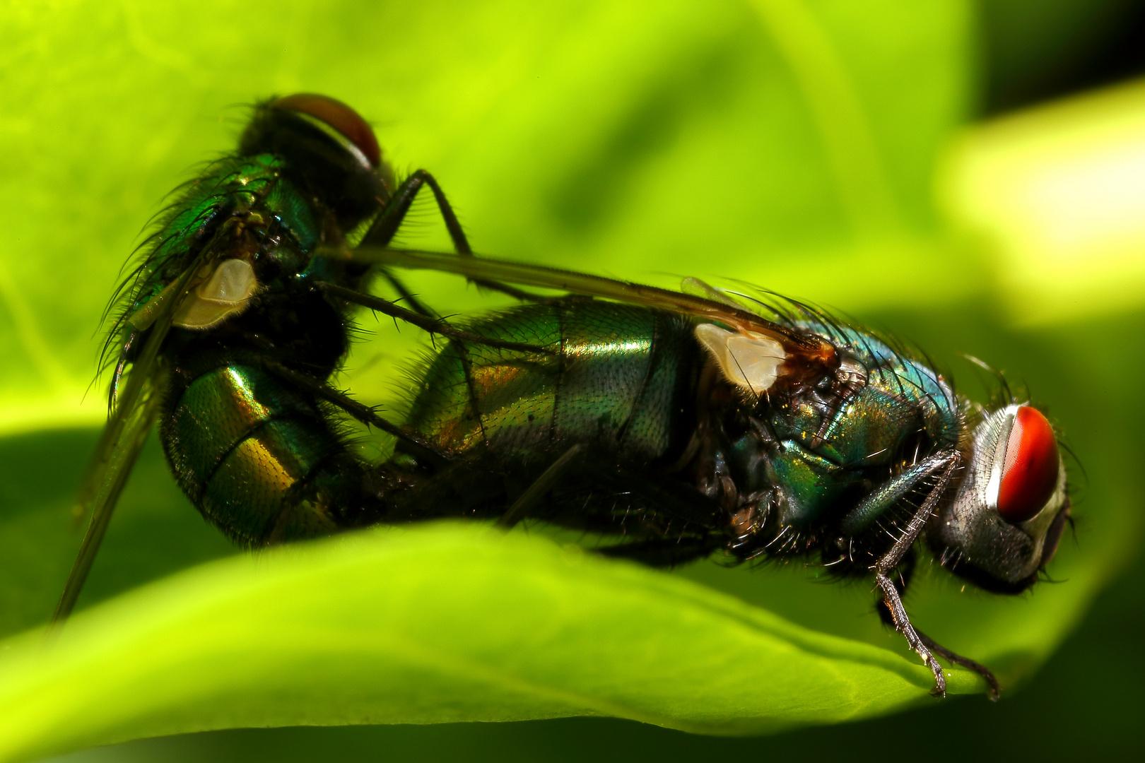 Goldfliegen (Lucilia sericata)