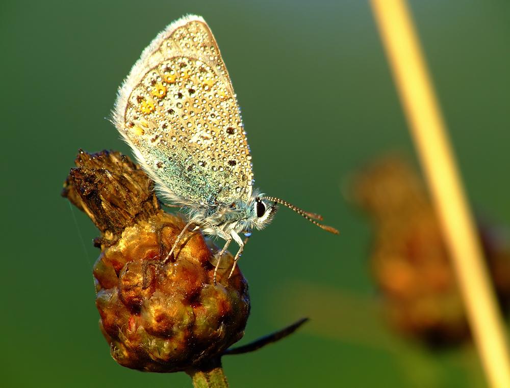 goldgrüner Bläuling (verdentis orodinus)