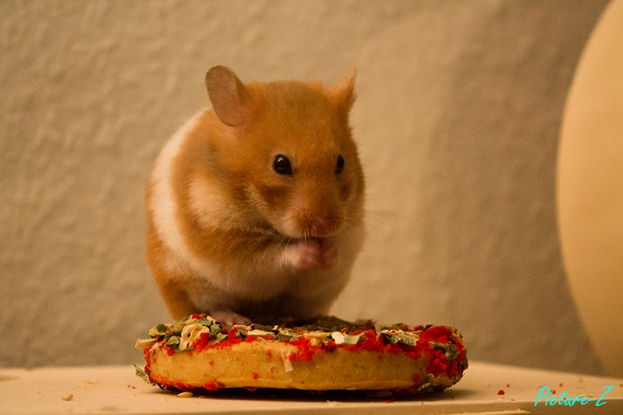 Goldhamster Lilly Pizza am Essen