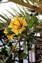 Goldkelchblüte (Solandra)