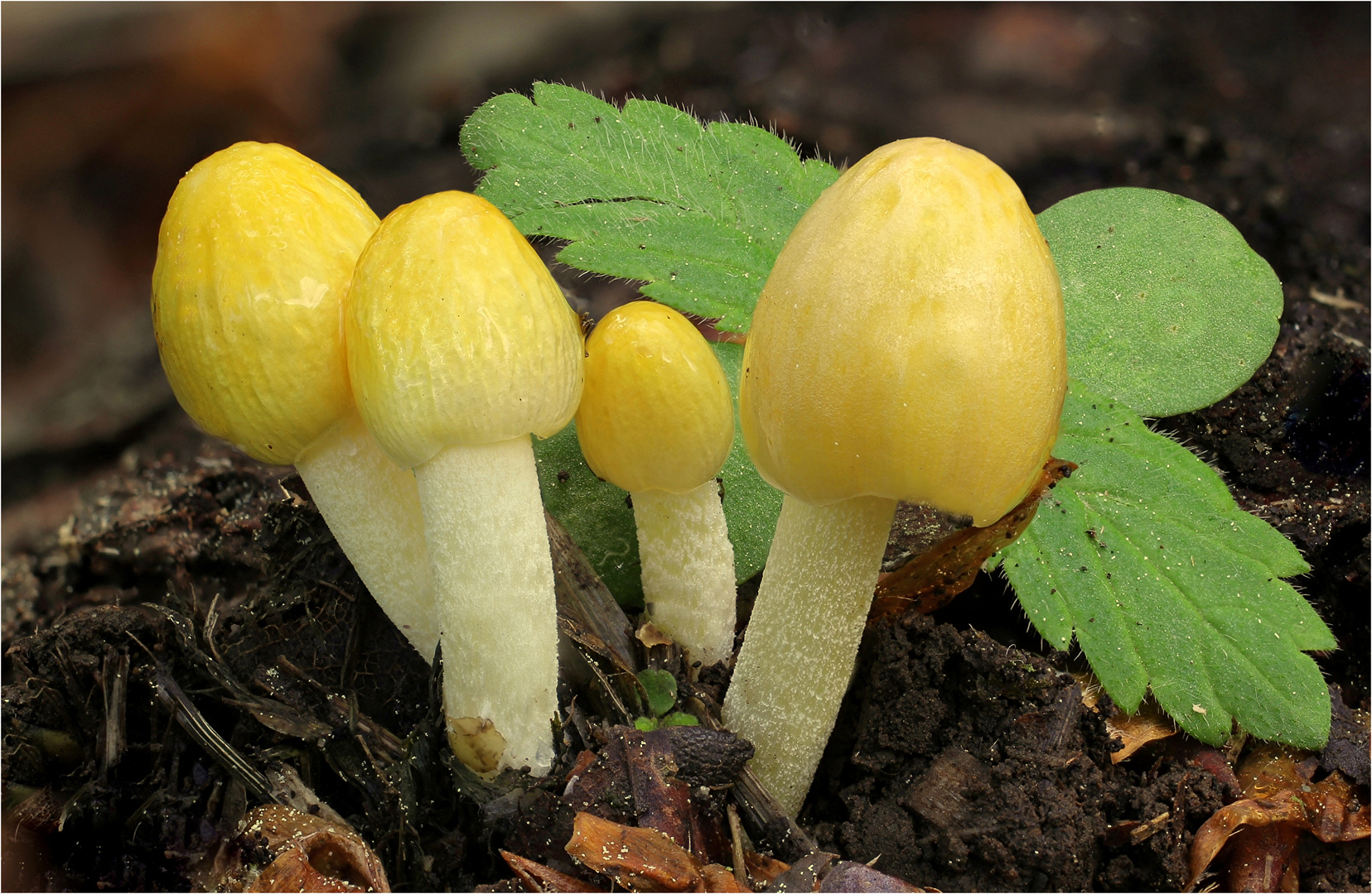 Goldmistpilz Bolbitius vitellinus