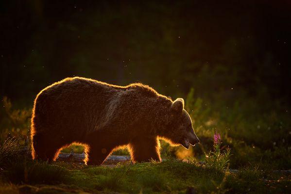 Goldrandbär