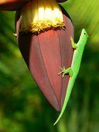 Goldstaub-Taggecko auf einer Bananenblüte