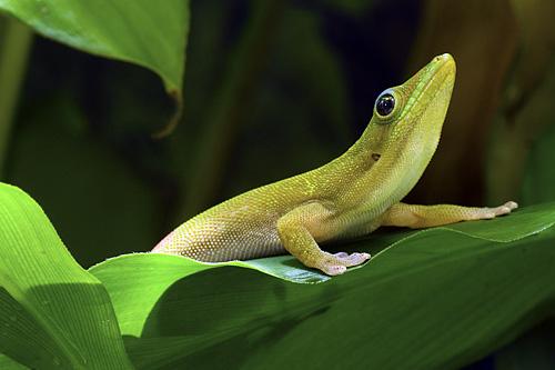 Goldstaubtaggecko