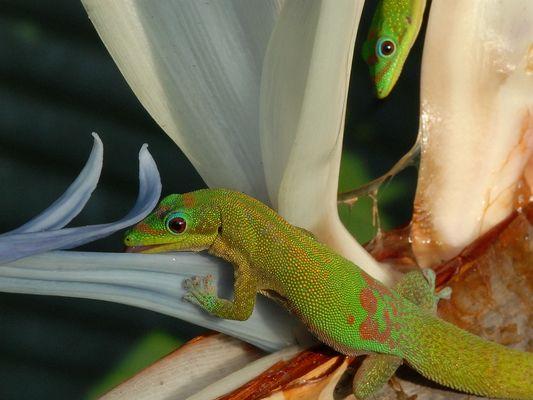 Goldstaubtaggecko und Strelizie, Hawai'i