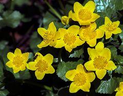 goldsternchen