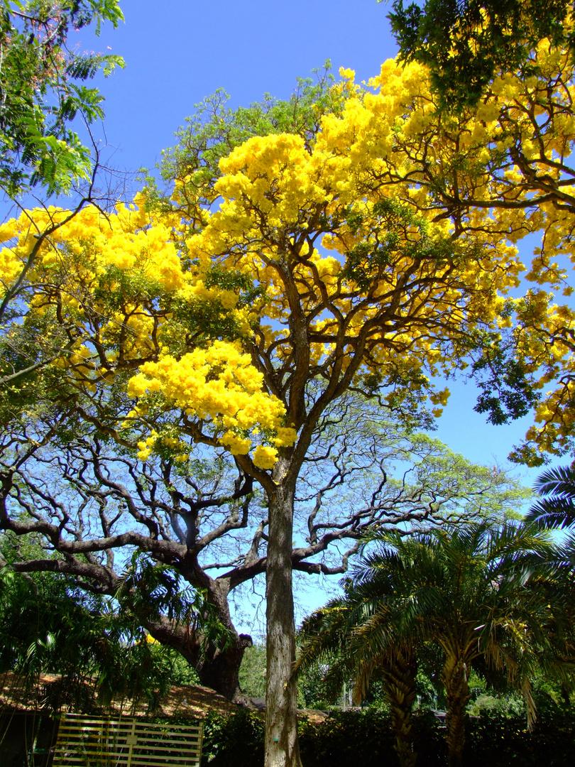 Goldtree in Forster Botanic Garden, Honululu