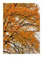 goleen tree