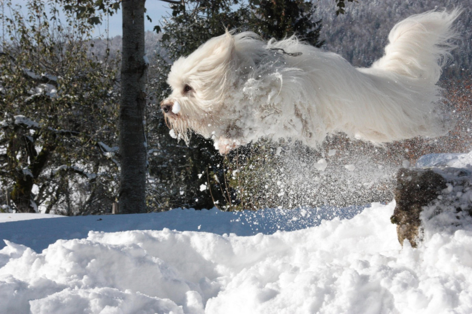 Goliath geniesst den ersten Schnee