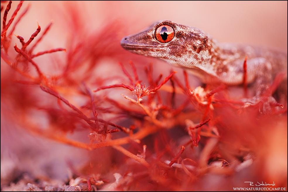 Gomera-Gecko