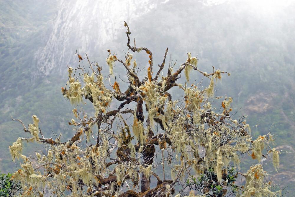 """Gomera V """"Mysterious Trees"""""""