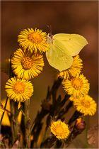 Gonepteryx rhamni - Zitronenfalter
