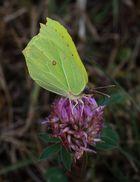 Gonepteryx rhamni (Zitronenfalter)