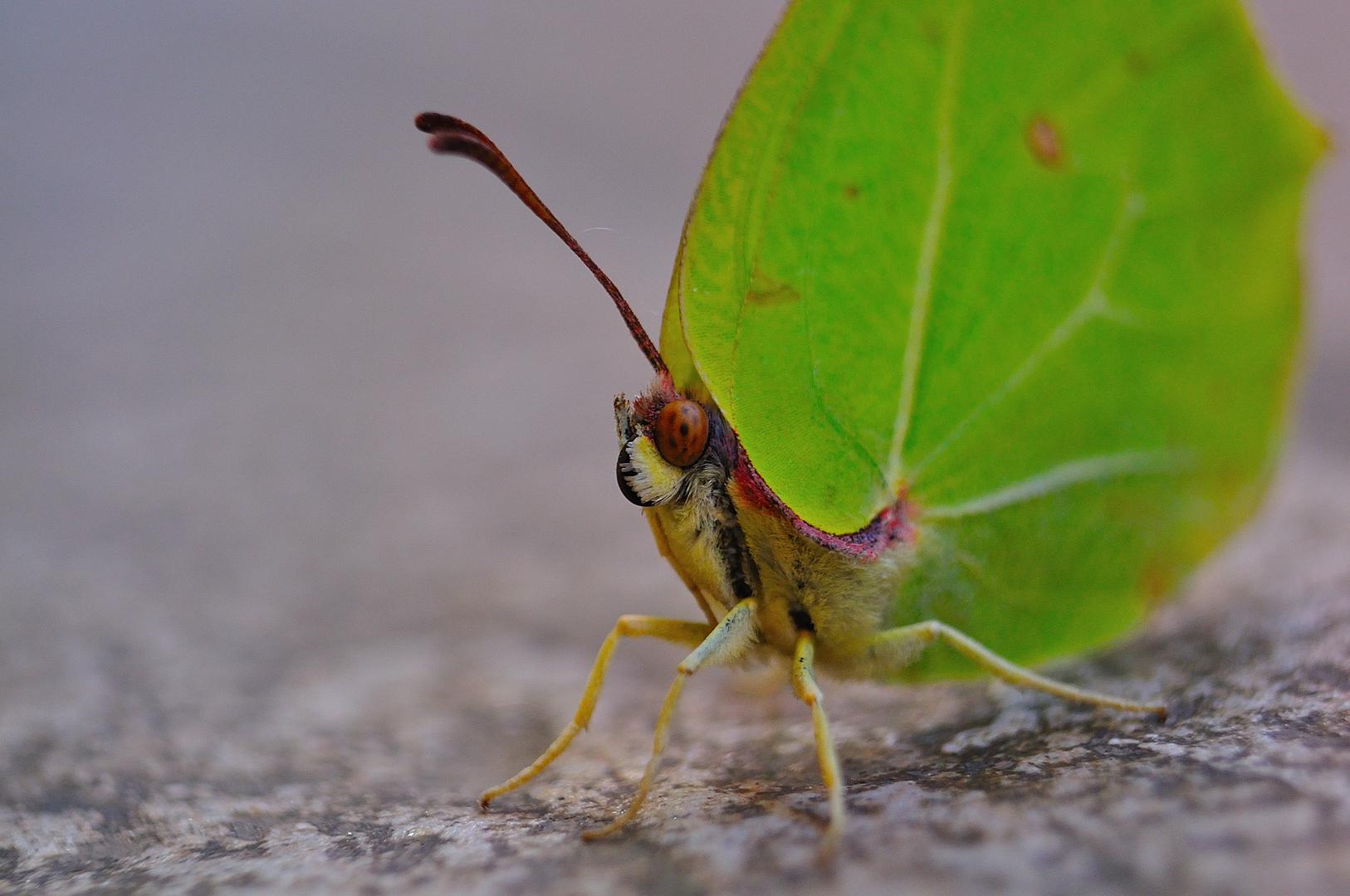 Gonepteryx sp.