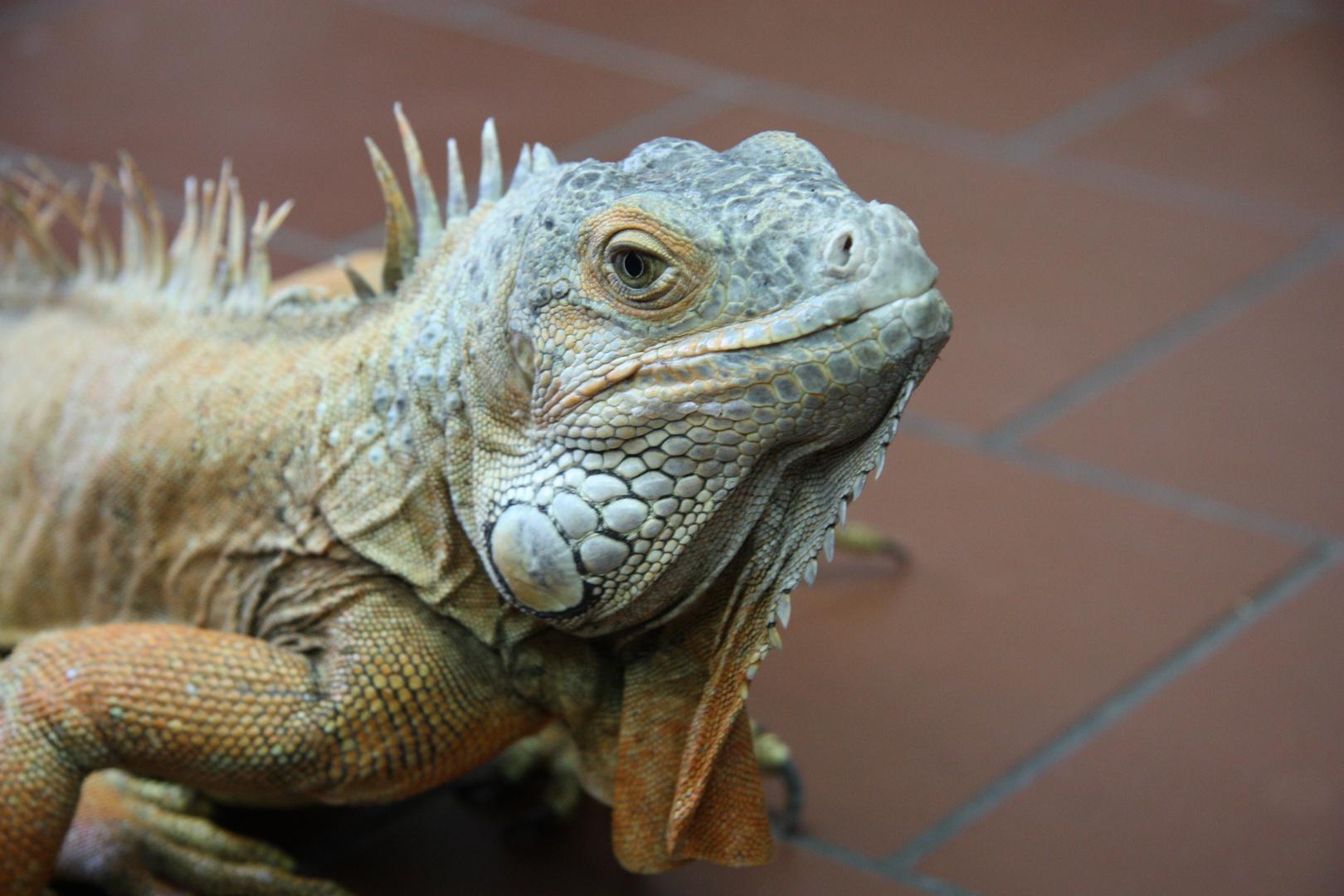 Gonzo, der Leguan