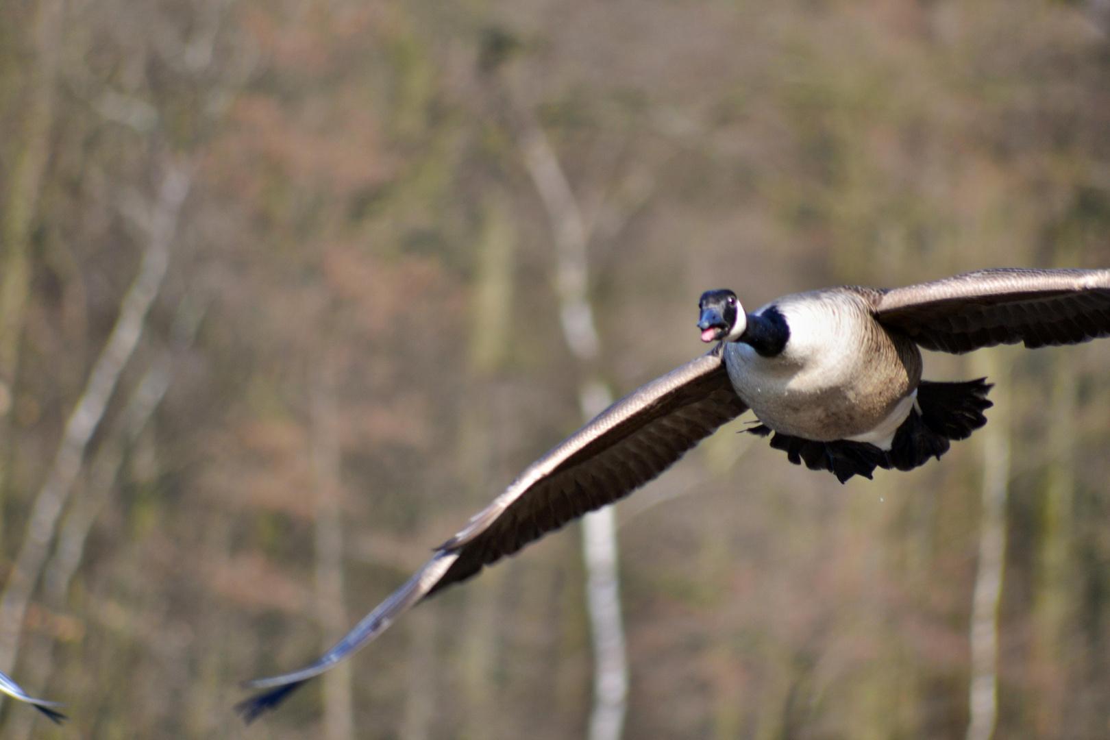 "Goose at ""Beversee"" II"